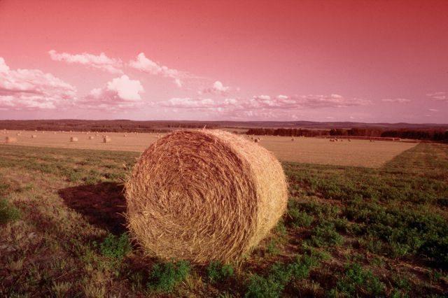 agricoltura-rosa-1