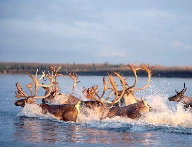 Alaska Caribou Herd