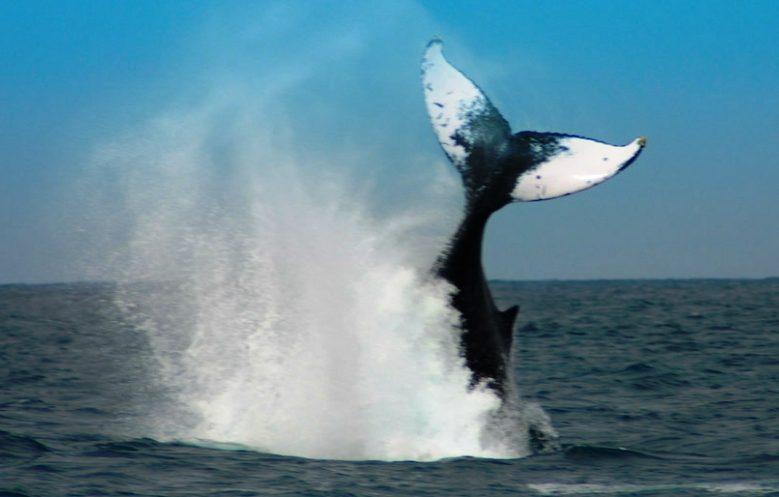 Il Giappone ferma la caccia alle balene