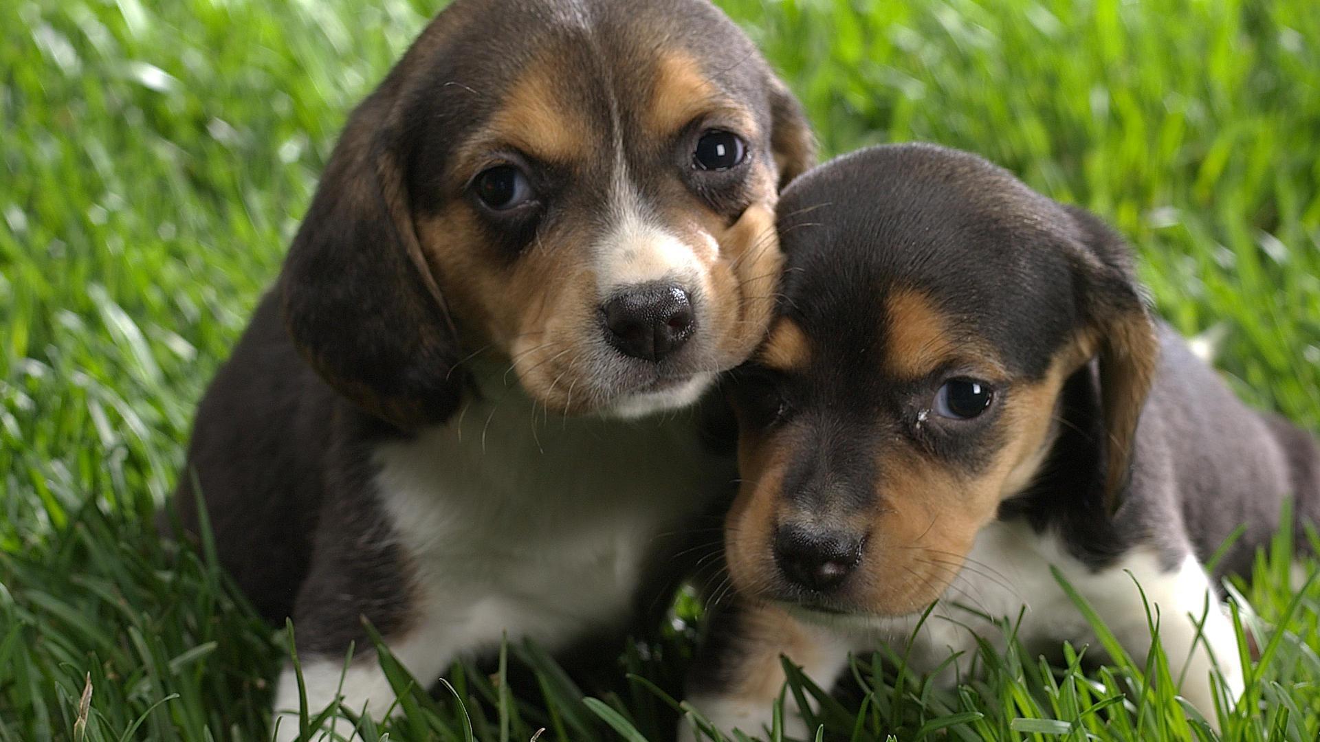 La carica dei 300 beagle