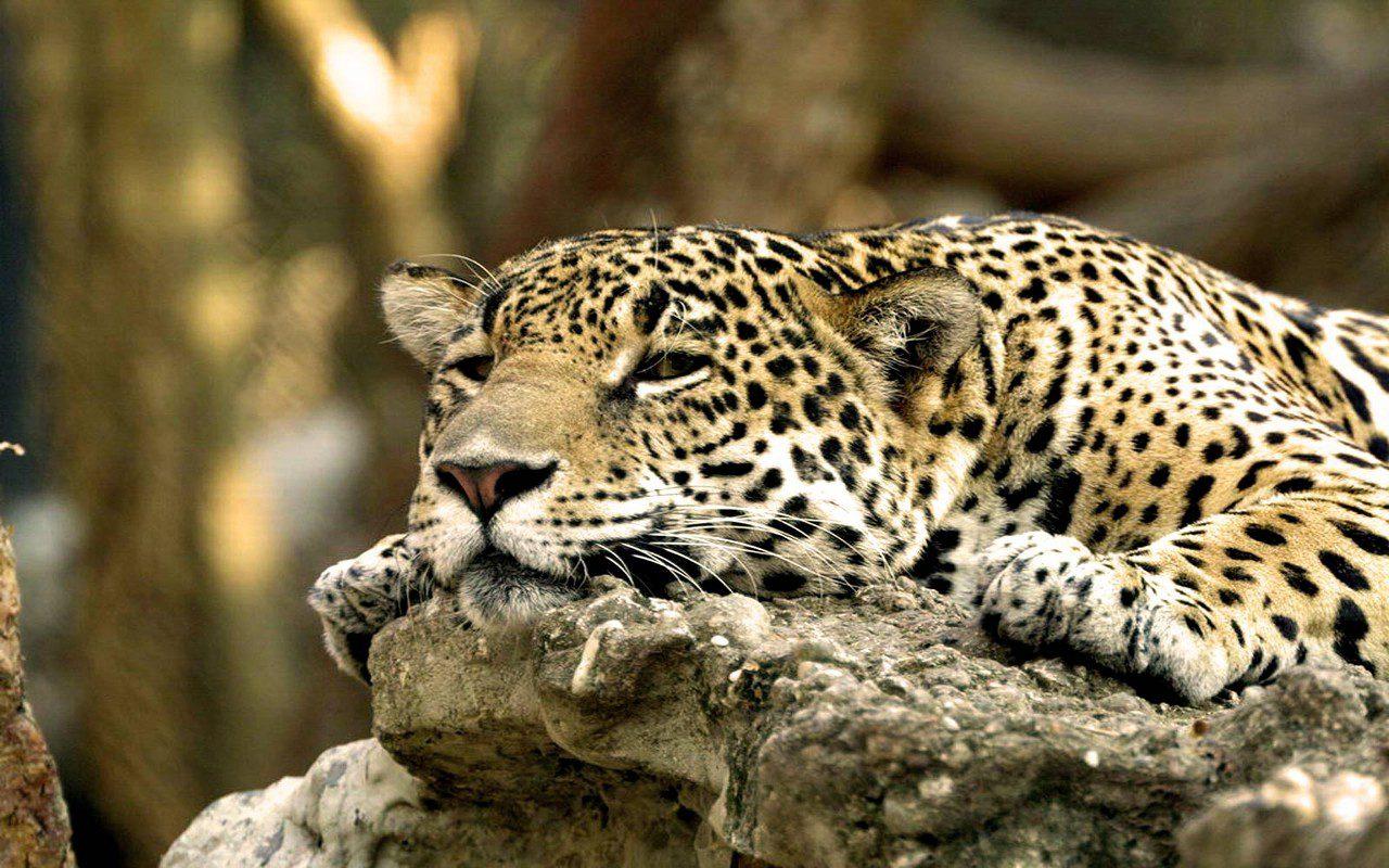 leopardo-africano-1280x800.jpg