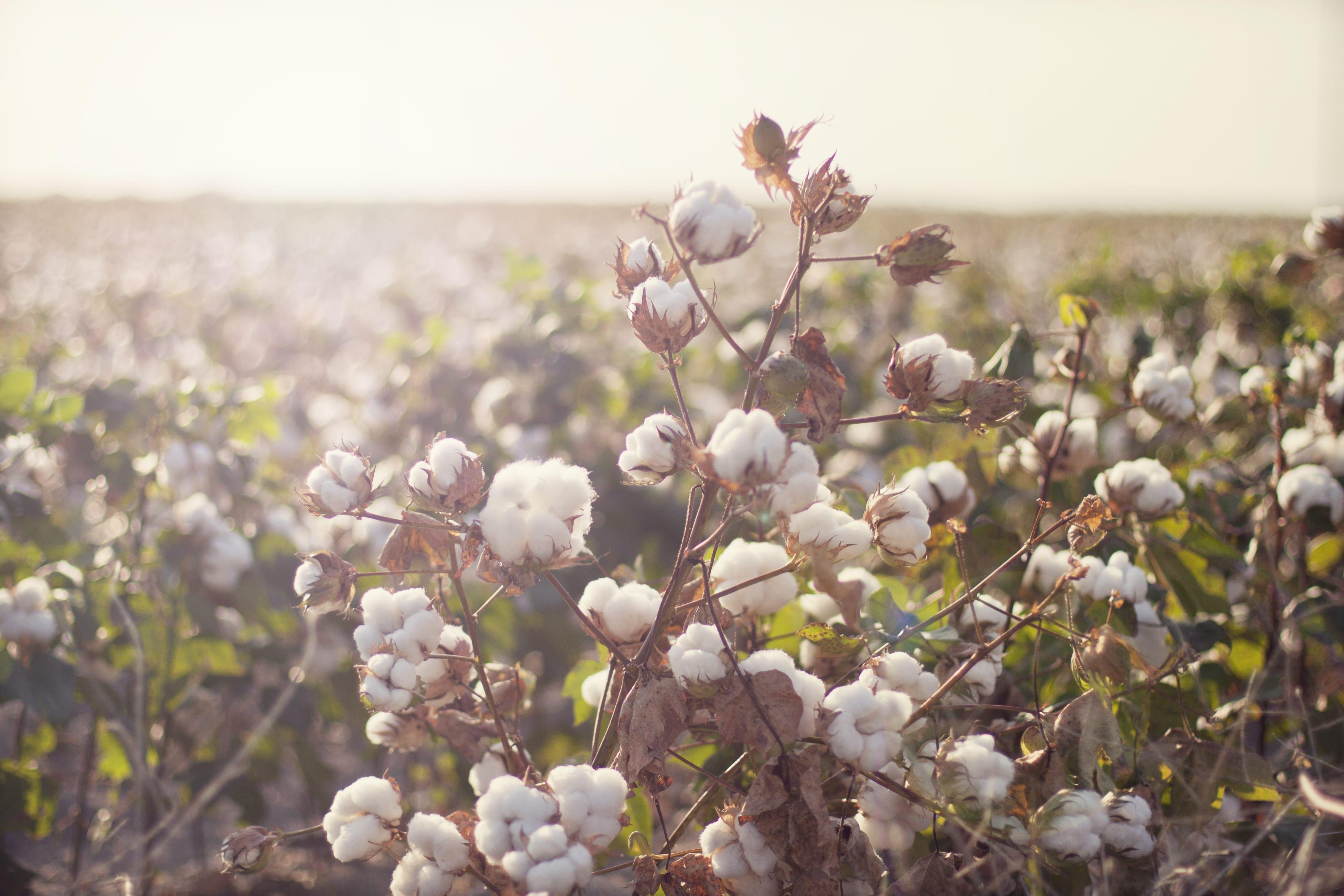 Sostenibilità: Cotton Usa certifica la fibra sostenibile ed etica