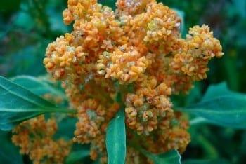 Alghe, legumi e quinoa, fonti alternative di proteine