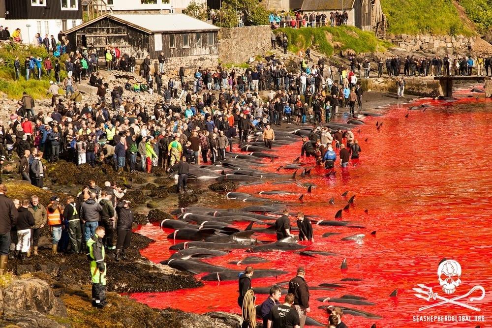 Isole Faroe: anche un'italiana colpevole di aver interferito con massacro cetacei