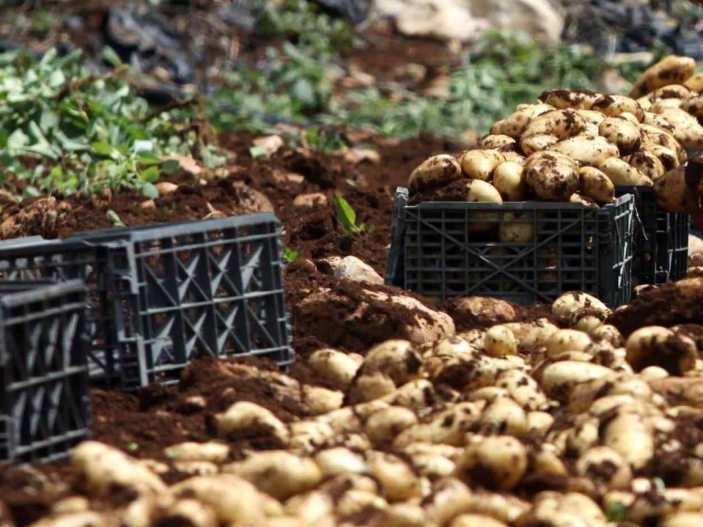 patate_inf-kel-1280x960@Produzione.jpg