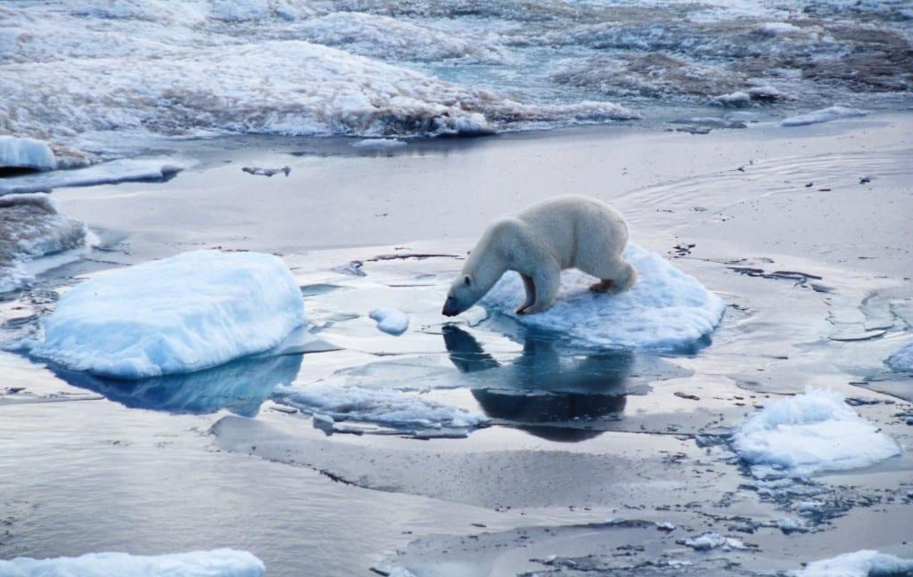 Polar bear (Ursus maritimus); Russian Federation
